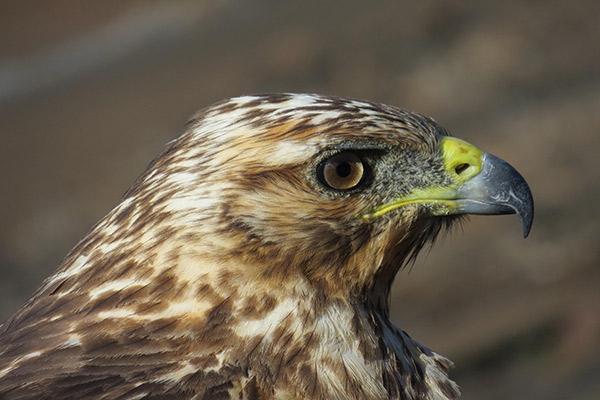 Stella Maris' 8-Day B Itinerary Day Five - Galapagos Hawk Sighting.