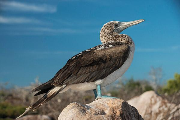 Endemic's 5-Day Itinerary Day Two - Blue-Footed Booby.