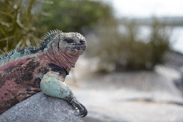 Endemic's 6-Day 'F' Itinerary Day Three - Marine Iguana relaxing.