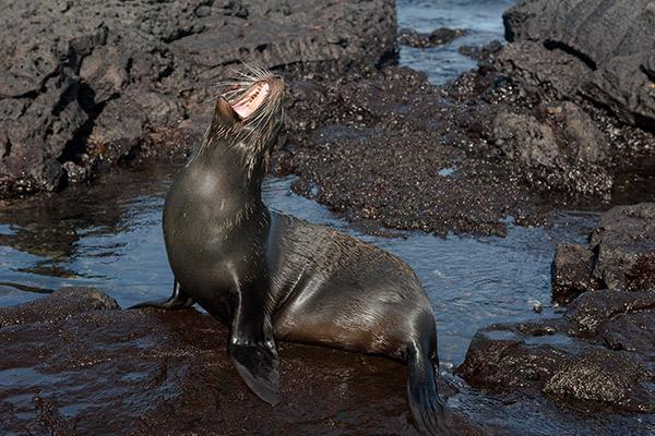 Endemic's 6-Day 'F' Itinerary Day Five - Fur Seal.