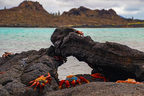 Endemic's 6-Day 'F' Itinerary Day Six - Sally-Lightfoot Crabs.