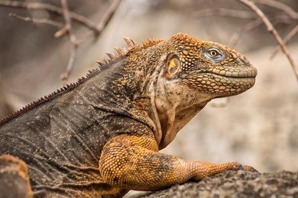 Endemic's 8-Day 'B' Itinerary Day One - Land Iguana.