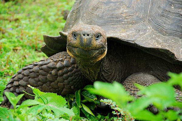 Endemic's 8-Day 'B' Itinerary Day Four - Galapagos Giant Tortoise Up Close.