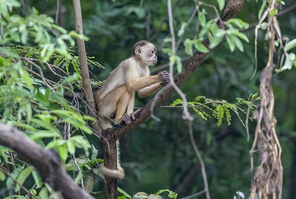 Tucano's 5-Day Cruise Itinerary Day One - Spotting a Squirrel Monkey.