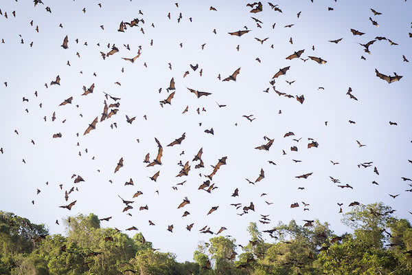 Aqua Blu's 13-Day Raja Ampat to Spice Island - Day Nine - Bats Flying Out At Sunset