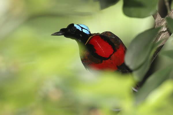 Ombak Putih's Sorong to Kaimana - Day Three - Wilson's Bird