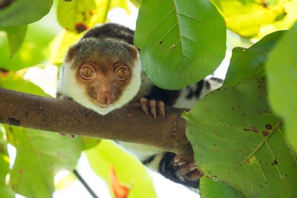 Ombak Putih's Sorong to Kaimana - Day Eight - A Cuscus