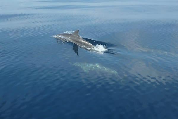 Ombak Putih's Kaimana to Sorong - Day Two - Dwarf Spinner Dolphin
