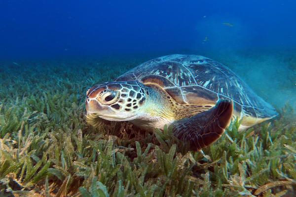 Ombak Putih's Kaimana to Sorong - Day Three - Green Turtle