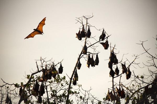 Ombak Putih's Kaimana to Sorong - Day Four - Flying Foxes