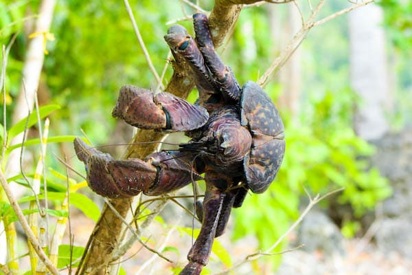 Ombak Putih's Kaimana to Sorong - Day Six - Coconut Crab