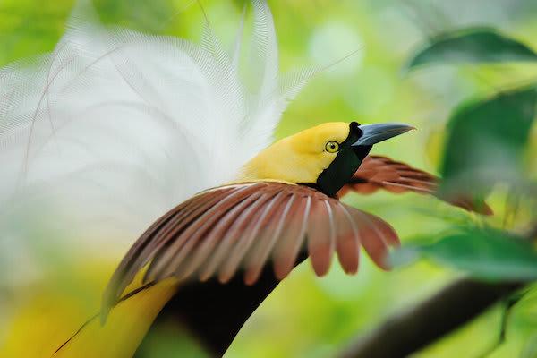 Katharina;s Jewels of Raja Ampat - Day Ten - Lesser Bird of Paradise