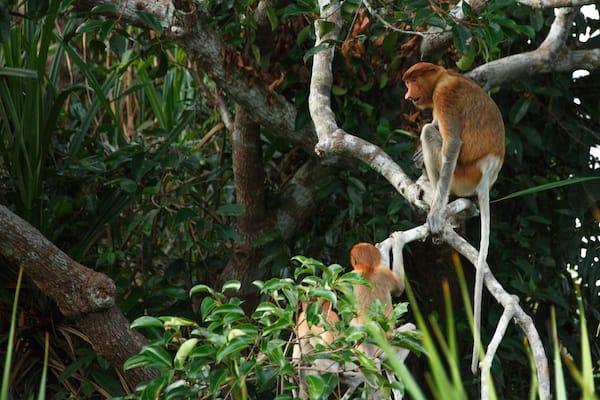 Kumai's 4-Day Tanjung Puting & Camp Leakey - Day Two - Proboscis Monkey