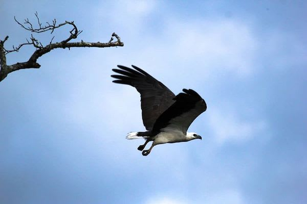Kumai's 4-Day Tanjung Puting & Camp Leakey - Day Four - Eagle