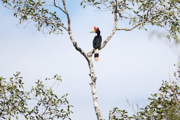Kumai's 5-Day Tanjung Puting & Camp Leakey - Day Two - Hornbill