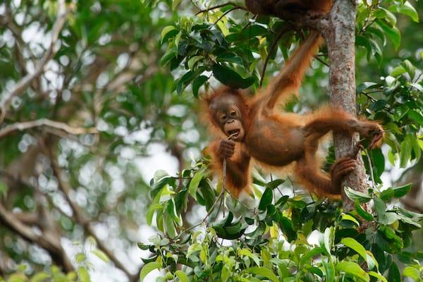 Kumai's 5-Day Tanjung Puting & Camp Leakey - Day Three - Infant Orangutan