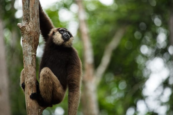 Kumai's 5-Day Tanjung Puting & Camp Leakey - Day Five - White-faced Gibbon