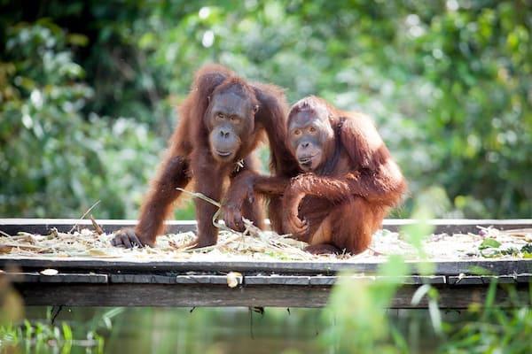 Rahai'i Pangun's 4-Day Relaxing Orangutan & Dayak Village Downriver - Day Four - Sungai Rungan