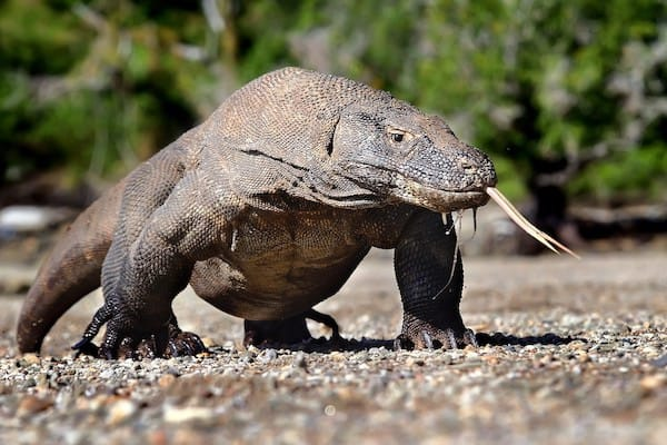 Sequoia's 15-Day The Wild Raja Ampat - Day Fifteen - Komodo Dragon