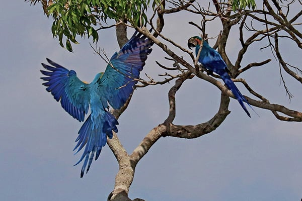 Amazon Odyssey's 4-Day Discovery Cruise Day Two - Blue Macaw Sighting.