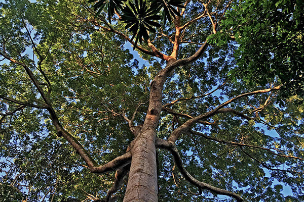 Amazon Odyssey's 6-Day Immersion Cruise Day Three - Tree tops.