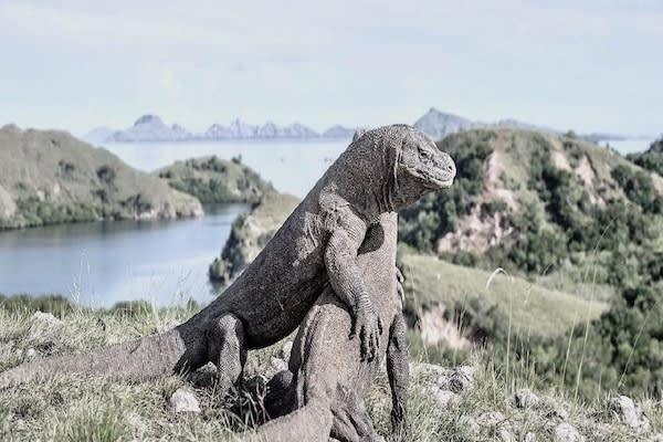 Splendour's 6-Day Komodo Cruise - Day Three - Komodo Dragons