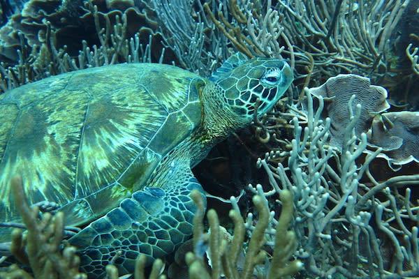 Tiger Blue's 8-Day Raja Ampat - Day Three - Green Turtle