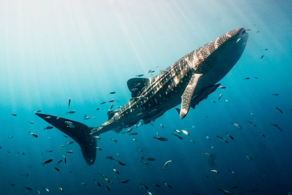 Tiger Blue's 8-Day Raja Ampat - Day Eight - Whaleshark