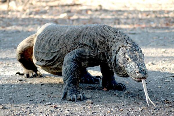 Senja's 9-Day Komodo Islands - Day Two - Komodo Dragon