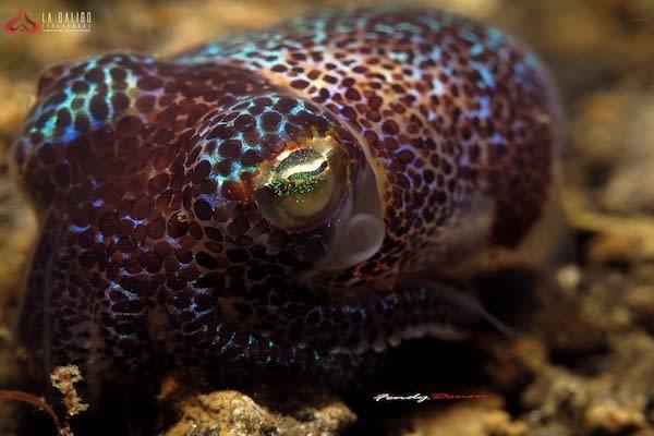 La Galigo's 6-Day Jurassic Komodo - Day Three - Bobtail Squid