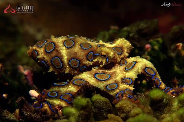 La Galigo's 8-Day Ultimate Komodo - Day Three - Blue Ring Octopus