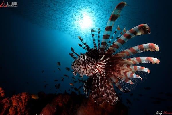 La Galigo's 12-Day Ultimate Raja Ampat - Day Two - Lion Fish