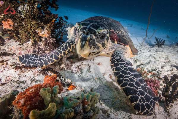 La Galigo's 12-Day Ultimate Raja Ampat - Day NIne - Turtle