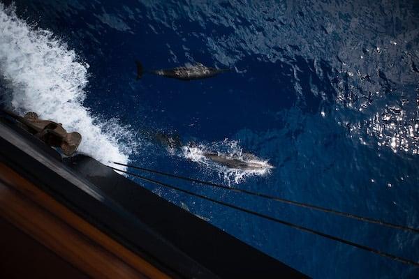 Dunia Baru's 11-Day Raja Ampat, West Papua & Papua - Day Four - Dolphins Swim Along