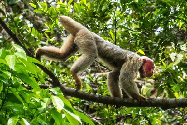 La Jangada's 6-Day Itinerary Day Five - Monkey Sighting.