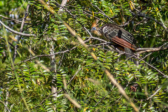 La Jangada's 12-Day In the Wild Amazonia Cruise itinerary Day Two - Cigana Bird Sighting.