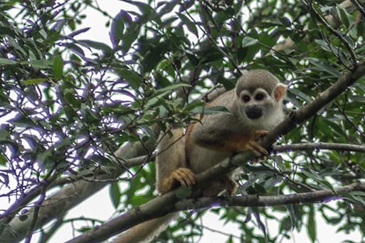 La Jangada's 12-Day In the Wild Amazonia Cruise itinerary Day Seven - Monkey Sighting.