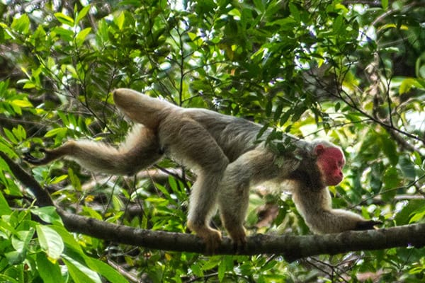Amazon Dream's 6-Day Manaus Cruise Itinerary Day Five - Monkey climbing in the trees.