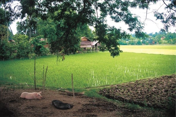 Paukan Princess' 11-Day Burmese Days Upriver - Day Eight - Peaceful Life by Rice Fields