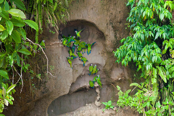 La Selva Amazon Ecolodge & Spa 5-Day Lodge Program Day Three -  Parrot Clay Lick.