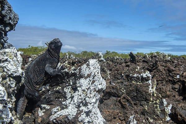 Scalesia Lodge's 5-Day Amazing Isabela Program Day Four - Marine Iguana Sighting.