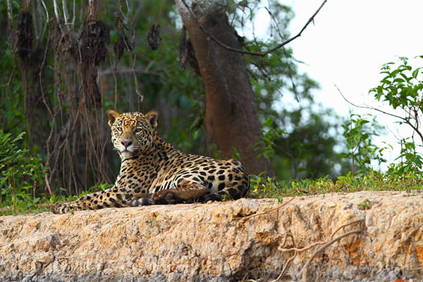 Barco Mutum's 4-Day Jaguar Nights Itinerary Day Two -  Jaguar Sighting.