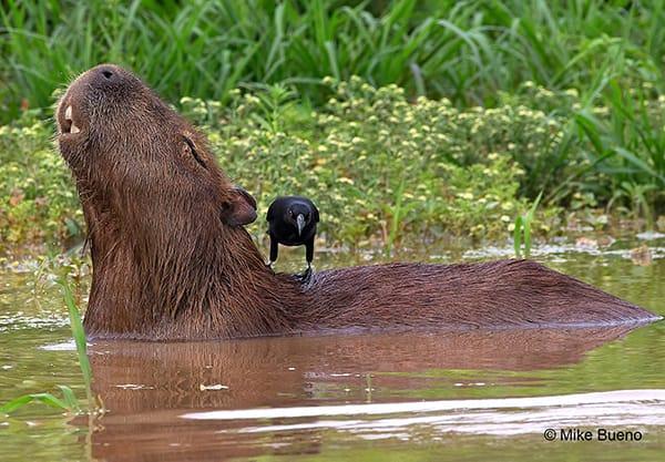 Barco Mutum's 4-Day Jaguar Nights Itinerary Day Three -  Capybara Sighting.