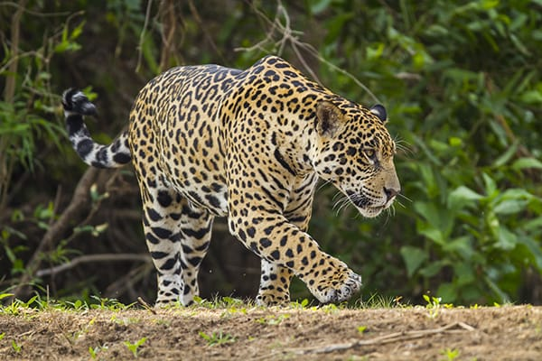 Barco Mutum's 4-Day Jaguar Nights Itinerary Day Four -  Jaguar Walking in the rainforest.