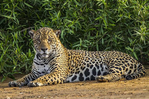 Barco Mutum's 5-Day Jaguar Nights Itinerary Day Two - Jaguar Sighting.