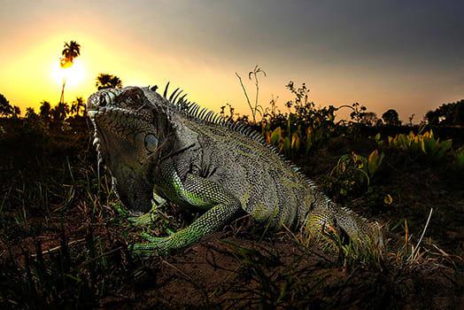 Barco Mutum's 5-Day Jaguar Nights Itinerary Day Three - Iguana Sighting.