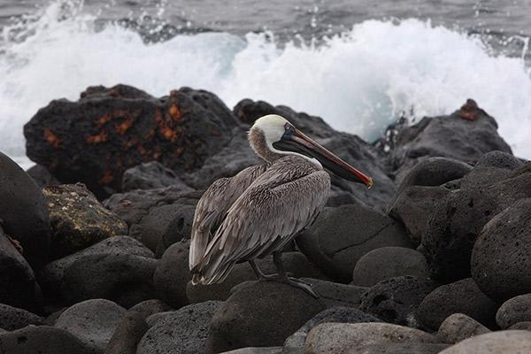 Passion's 5-Day Itinerary Day One - Galapagos Pelican Sighting.