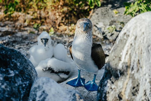 Passion's 8-Day Western and Central Itinerary Day Seven - Blue-footed Booby Family.