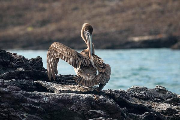 Passion's 8-Day Eastern and Central Itinerary Day One - Galapagos Pelican Sighting.