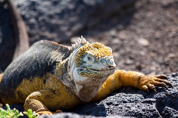 Passion's 8-Day Eastern and Central Itinerary Day Six - Yellow Galapagos Land Iguana.